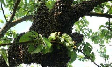 Признаки роения пчел, разновидности и выход пчелиного роя