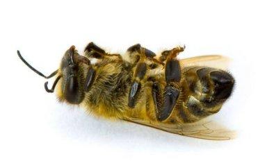 Лечение пчелиным подмором и его полезные свойства