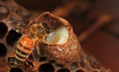 Мёд с пчелиным маточным молочком