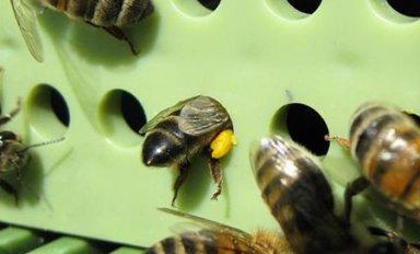 Сбор пыльцы пчелами и пчеловодами
