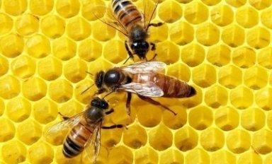 Описание породы пчелы бакфаст