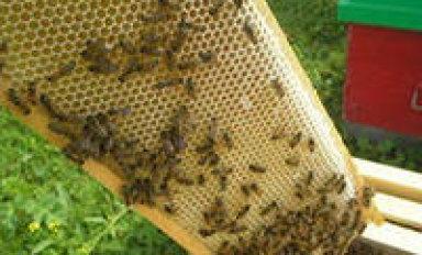 Пчелиные рамки и соты: расположение, размеры, конструкции