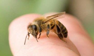 Лечение грыж пчелиным ядом