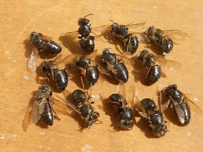 Пчелы умершие от паралича