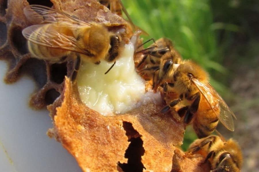 Пчелы тоже кушают маточное молочко
