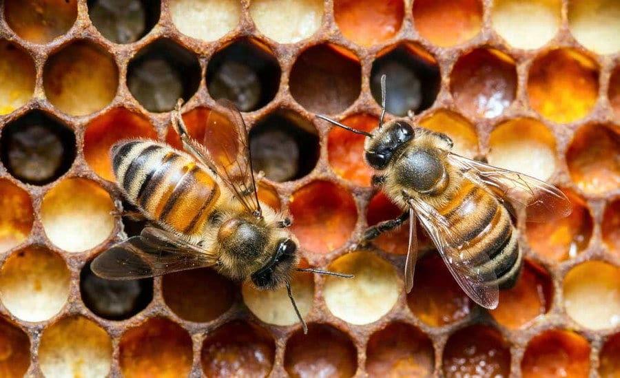 Пчелы делают пергу
