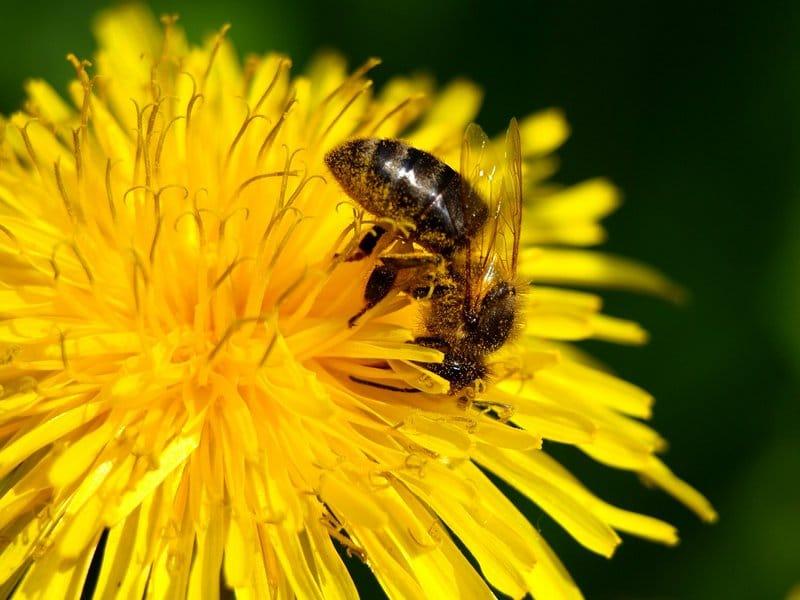Пчелы сами добывают себе пищу