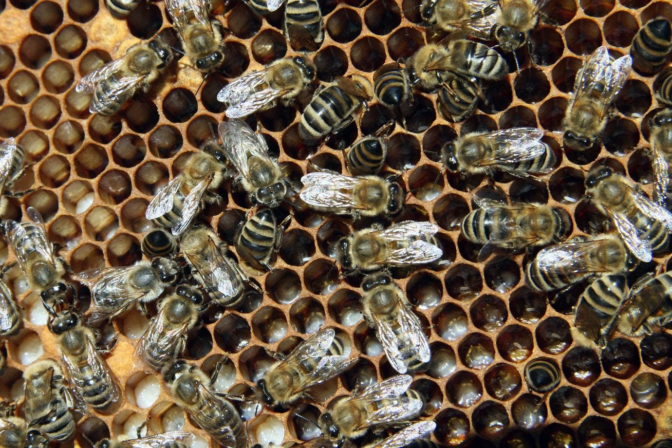 Пчелы кормилицы
