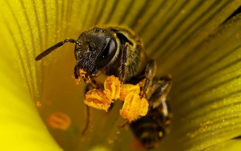 Пчелы и пыльцы
