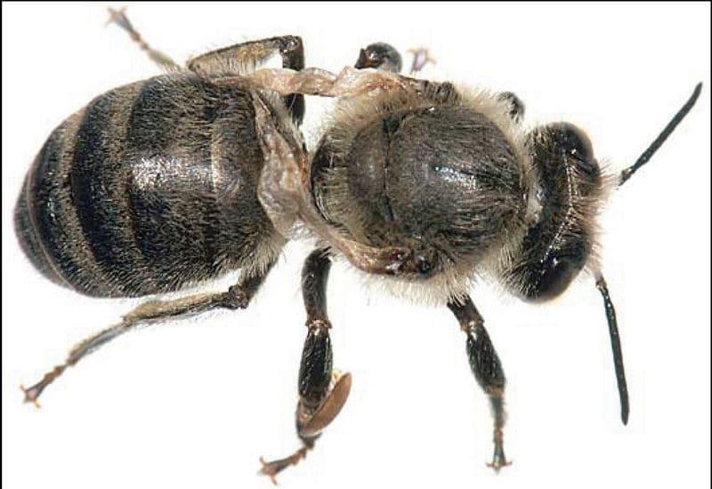 Деформированные крылья у пчелы