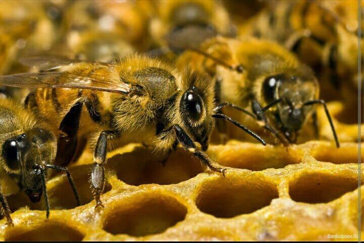 Пчелы трудятся в улье