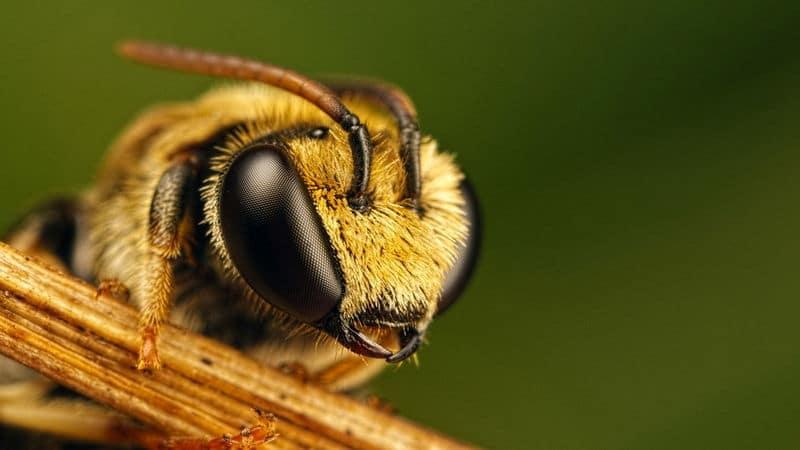 Голова пчела
