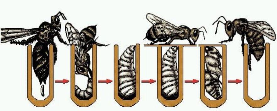 Как развивается пчела