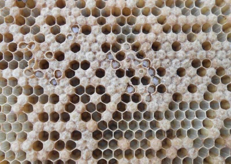 Пораженные аскосферозом пчелиные соты