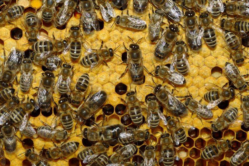 Зараженные аспергиллезом пчелы, выглядят почти также, как здоровые