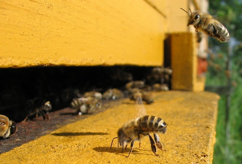 Пчелиная охрана улья