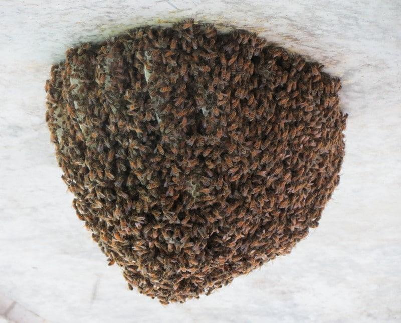 Улей диких пчел