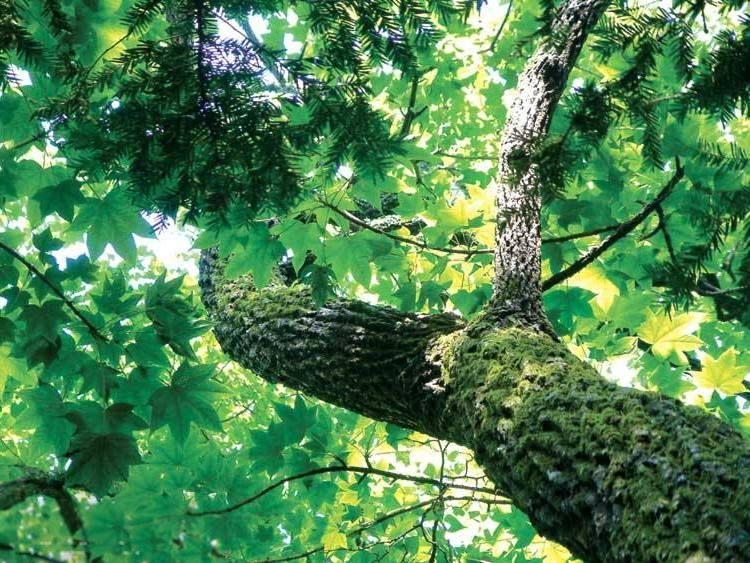 Диморфантовое дерево