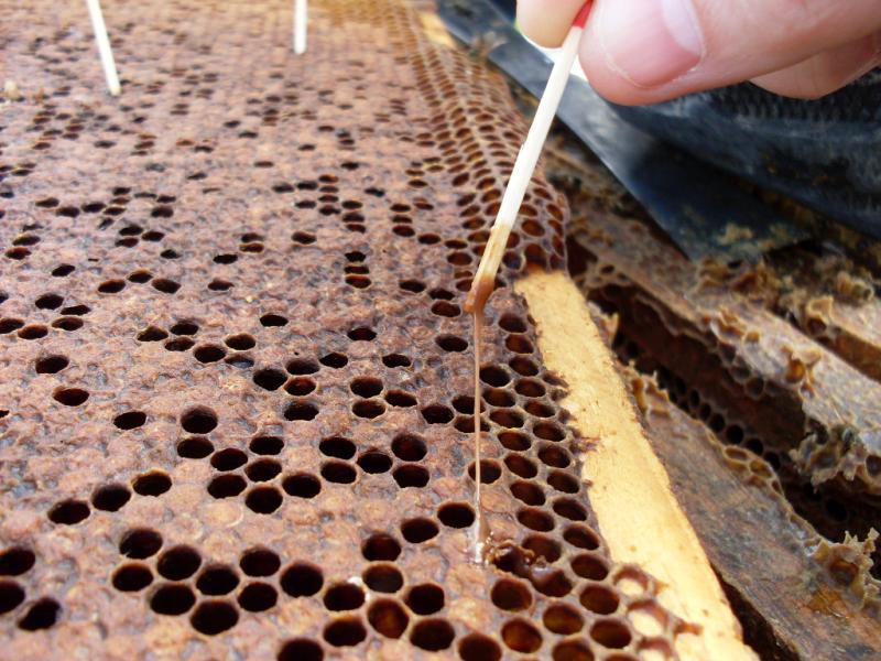 Гнилой пчелиный расплод