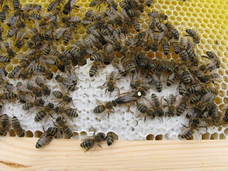 Соты карпатской породы пчел