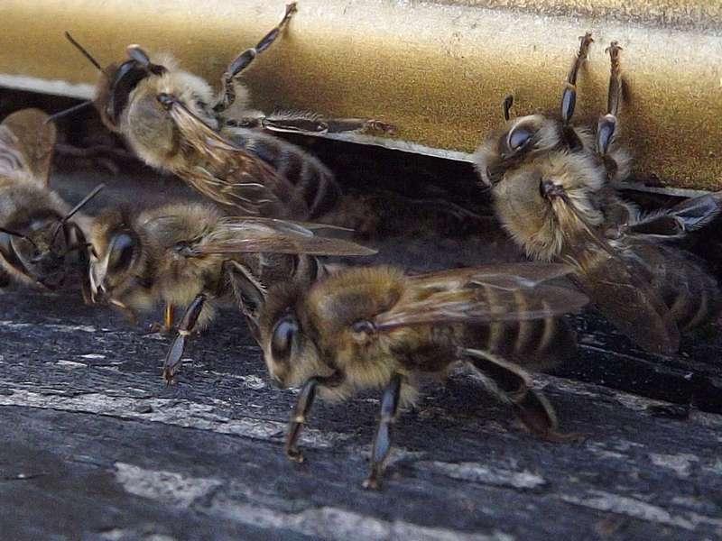 Кавказская серая порода пчел