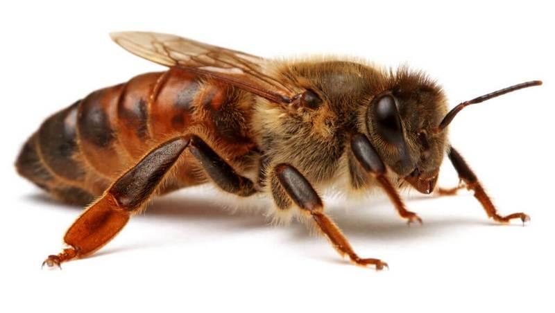 Пчеломатка серой кавказской пчелы