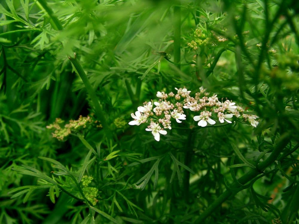 Цветущий кориандр