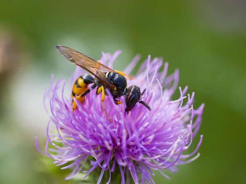 Расторопша и пчела