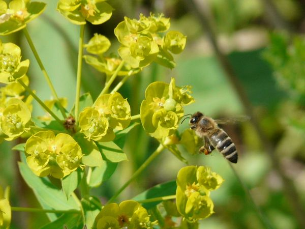 Молочай и пчела
