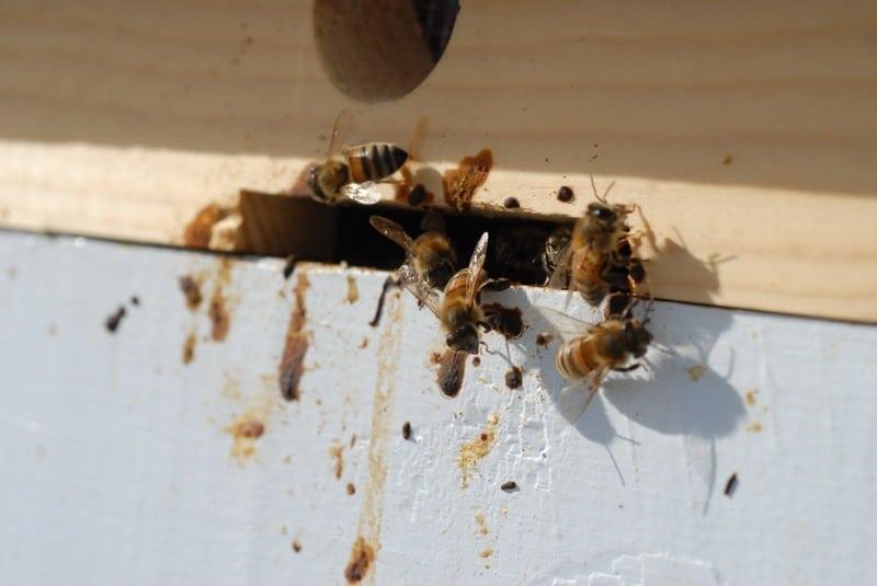 Если леток улья в поносе пчел - это признак нозематоза
