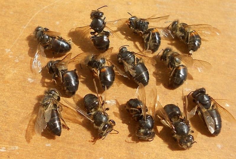 Пчелы, пораженные вирусным параличом