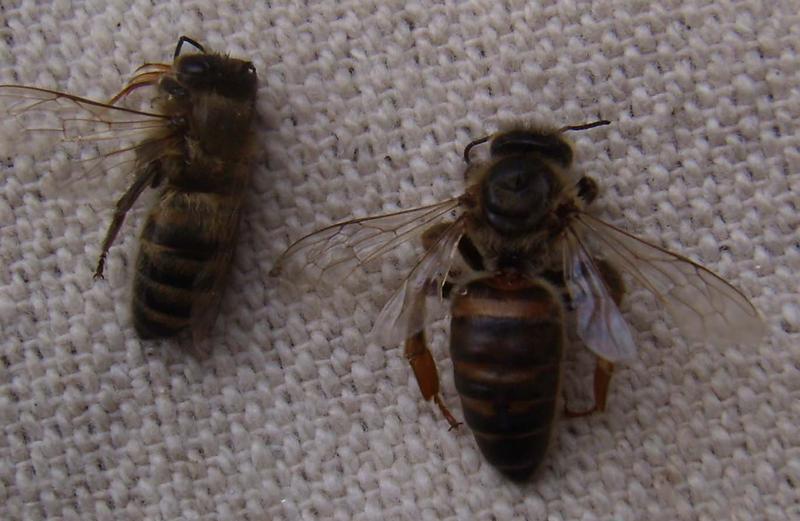 Последствия вирусного паралича пчел