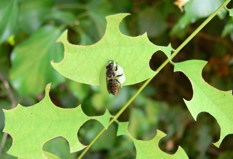 Люцерновая пчела листорез