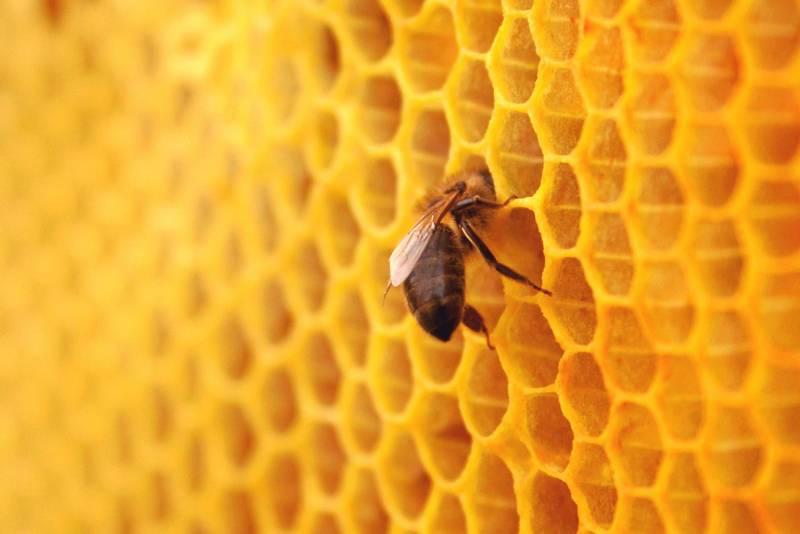 К сожалению, некоторые пчеловоды используют готовую вощину, не давая пчелам отстраивать соты