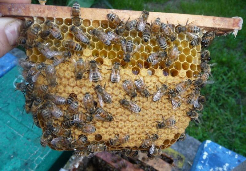 Сбор меда краинскими пчелами
