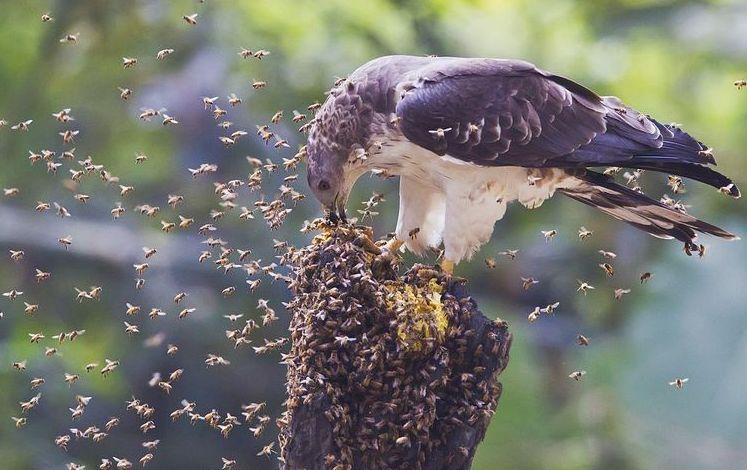 Некоторые птицы любят полакомиться пчелиным расплодом