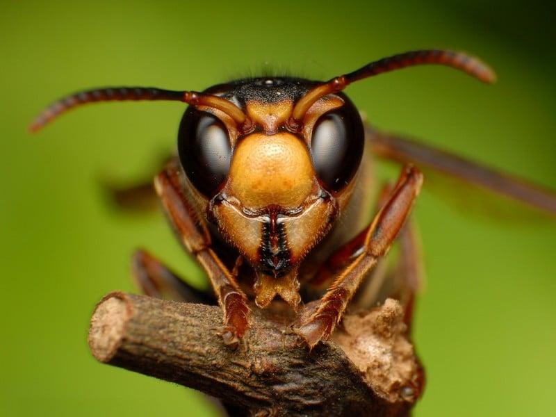 Голова пчелы