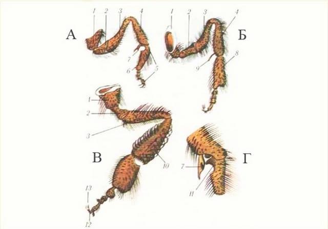 Строение пчелки, лапки: А — передняя; Б — средняя; В — задняя; Г — приспособление для очистки усиков; 1 — тазик; 2 — вертлюг; 3 — бедро; 4 — голень; 5 — лапка; 6 — пятка; 7 — клапан; 8 — щеточки для пыльцы; 9 — шпора средней ножки; 10 — корзиночки задней ножки; 11 — вырез; 12 — подушечка; 13 — коготки.