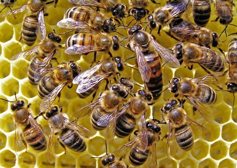 Матка украинской степной породы пчел