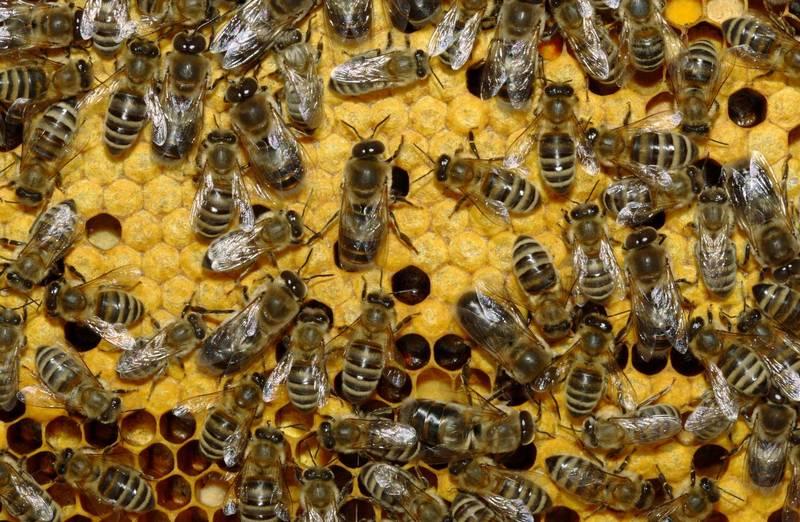 Украинские степные пчелы
