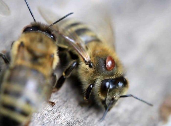 Пчела пораженная клещом варроа