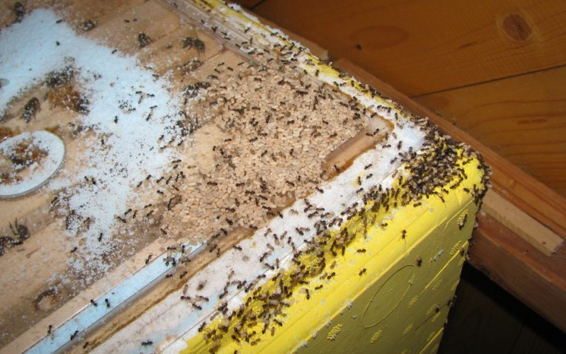 Муравьи добрались до пчелиного домика