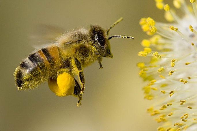 Пчела и перга