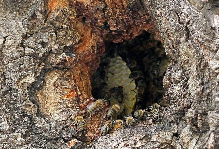 Вот так выглядит дикий улей в дупле дерева