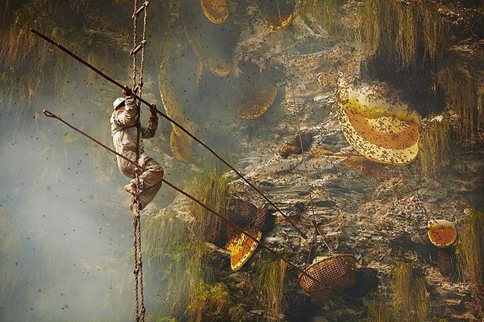 Охотник за сладким сбивает сот большой индийской пчелы в подставленный сачок