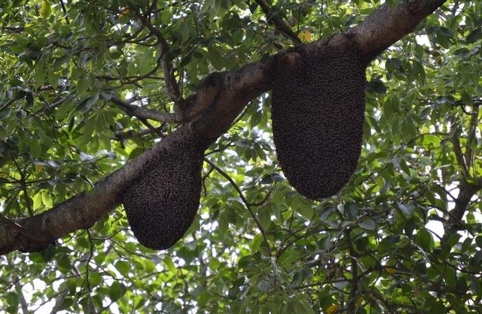 Рои пчел Apis dorsata