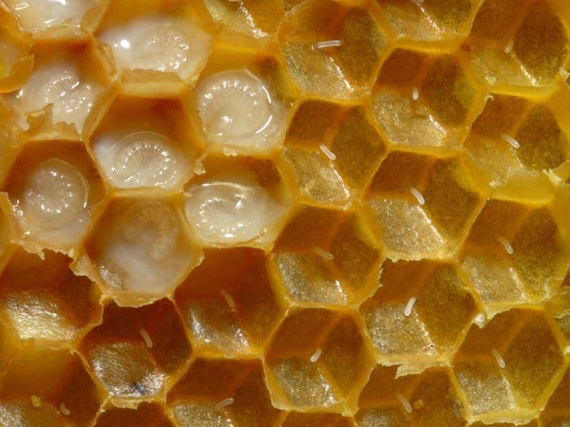 Яйца и расплод пчел