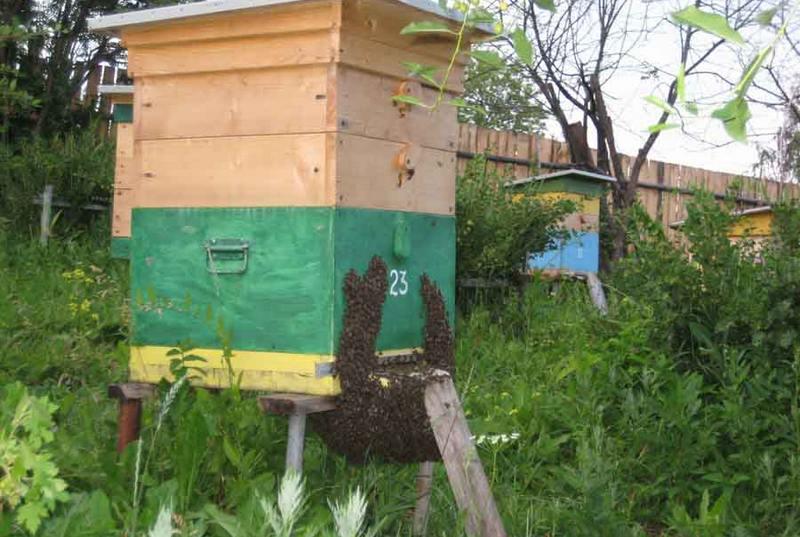 Выход пчелиного роя из улья