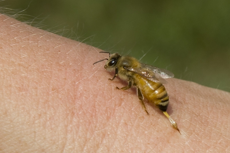 При правильном применении, яд пчелы очень полезен