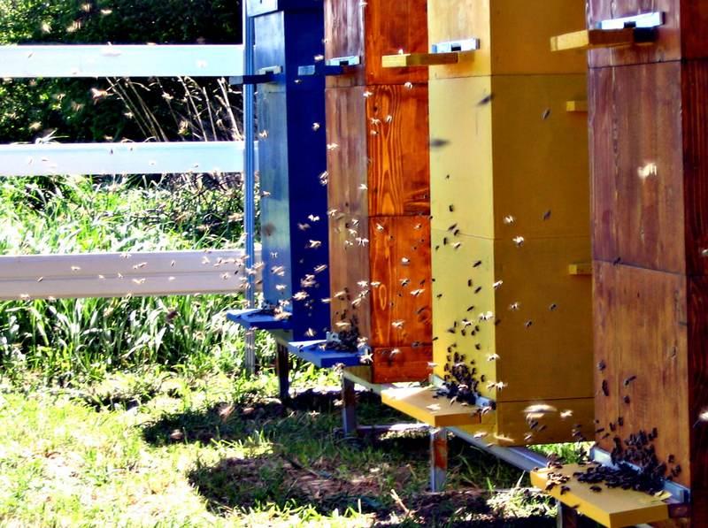 Не только традиционный метод пчеловождения отбраковывает слабых, оставляя лучших